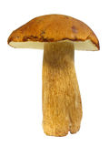 Boletus edulis Royalty Free Stock Photos