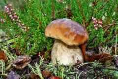 Boletus edulis Image stock