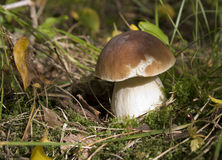 Boletus edulis Royalty Free Stock Photography