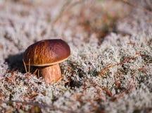 Boletus edulis Bello fungo commestibile che cresce sul pavimento della foresta fotografia stock