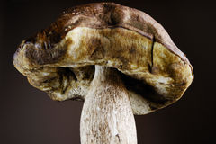 Boletus edulis, cep Royalty Free Stock Photos
