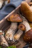 Boletus edulis, cepe, porcini mushrooms unwashed on gray concret Royalty Free Stock Photography