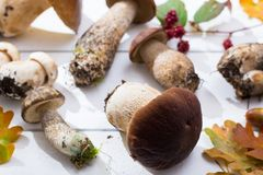 Boletus edulis, cepe, porcini mushrooms unwashed on white wooden Stock Photography