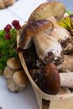 Boletus edulis, cepe, porcini mushrooms unwashed on white wooden Stock Image