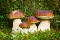 Boletus edulis, champignon comestible photographie stock