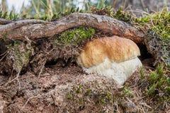 Boletus edulis Champignon dans l'environnement naturel Images libres de droits