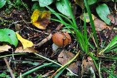 Boletus edulis dans la forêt Photos stock
