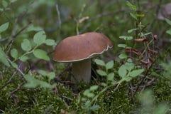 Boletus edulis dans la forêt d'été Photo libre de droits