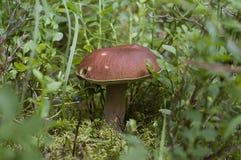 Boletus edulis dans la forêt d'été Photographie stock