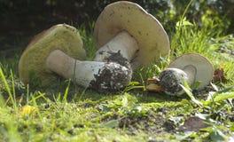Boletus edulis. Edible mushroom Stock Photos