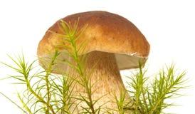 Boletus edulis edible mushroom Stock Photography