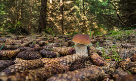 Boletus edulis. Edible mushrooms with excellent taste, Boletus edulis Stock Photos