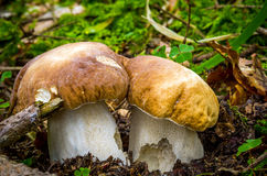 Boletus edulis Stock Photos