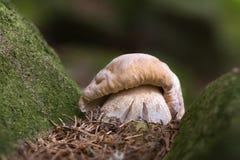 Boletus edulis. Edible mushrooms with excellent taste Stock Images