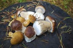 Boletus edulis English: penny bun, cep, porcini and Suillus variegatus velvet bolete or variegated bolete. Stock Image