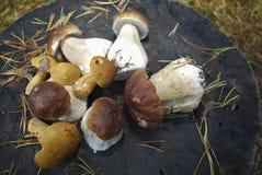 Boletus edulis English: penny bun, cep, porcini and Suillus variegatus velvet bolete or variegated bolete. Royalty Free Stock Images