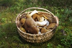 Boletus edulis and Suillus variegatus are in a wicker basket. Royalty Free Stock Photography