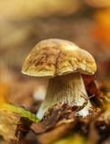 Boletus edulis in the forest Royalty Free Stock Images