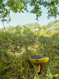 Mushroom in the forest.Boletus edulis Royalty Free Stock Photos