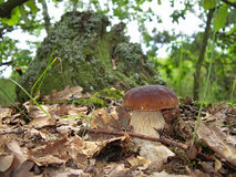 The boletus edulis in the forest. Stock Image