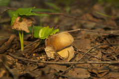 Boletus edulis in the forest. Edible mushroom Royalty Free Stock Photo