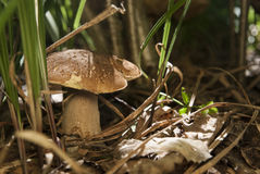 Boletus edulis in the forest. Edible mushroom Royalty Free Stock Photography