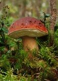 Boletus edulis in foresta Fotografie Stock