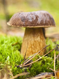 Boletus Edulis  in green moss Stock Images