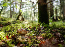 Boletus edulis. Growing in the forest Stock Photo