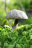 The boletus edulis grows from earth Stock Images