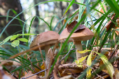 Boletus edulis in the mixed forest Stock Photo
