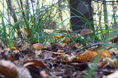 Boletus edulis in the mixed forest Stock Image