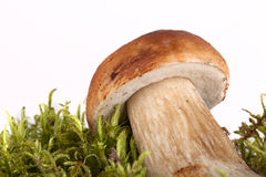 Boletus edulis on moss lying on a light background Stock Images