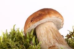 Boletus edulis on moss lying on a light background Stock Images