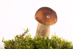 Boletus edulis on moss lying on a light background Stock Image