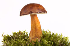Boletus edulis on moss lying on a light background. Shallow dept Stock Image