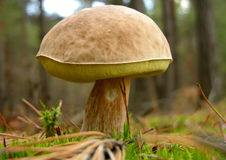 Boletus edulis mushroom Stock Images