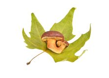 Boletus edulis mushroom on fall leaf Stock Images