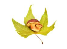 Boletus edulis mushroom on fall leaf Stock Photo