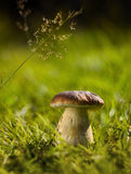 Boletus edulis. Mushroom growing in the grass in forest clearing Royalty Free Stock Photography