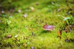Boletus edulis mushroom Royalty Free Stock Photography