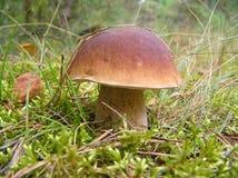 boletus edulis mushroom white Стоковое фото RF