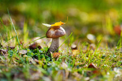 Boletus edulis mushroom in a woods Stock Photos