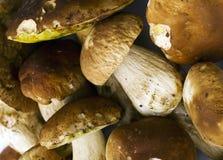 Boletus Edulis mushrooms background. Group of fresh Boletus Edulis mushrooms Royalty Free Stock Photography