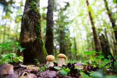 Boletus edulis mushrooms in the forest Royalty Free Stock Photos