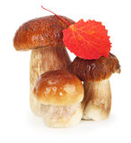 Boletus Edulis mushrooms Royalty Free Stock Image