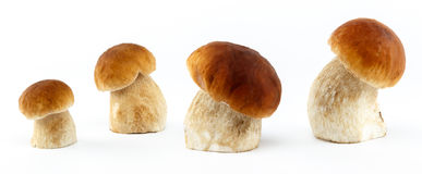 Boletus edulis mushrooms - isolated. Boletus edulis mushrooms on white isolated background Royalty Free Stock Photos