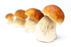 Boletus edulis mushrooms - isolated. On white background stock image