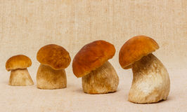 Boletus edulis mushrooms on table cloth Stock Photos