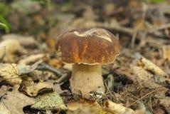 Boletus edulis nel fungo commestibile della foresta Fotografie Stock